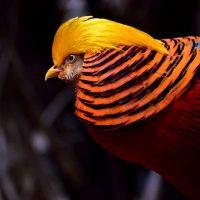 golden-pheasant-334658_640